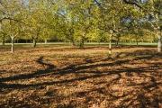 Walnut Orchard 2012