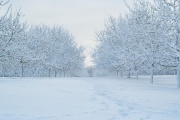 Snowy Walnut Orchard 2009