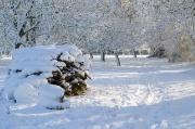 Snowy Walnut Orchard 2009