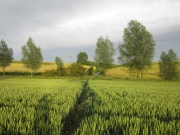 Beautiful view of corn fields looking towards Carter's Hill