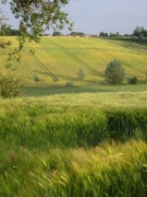 Beautiful summer evening view of corn fields