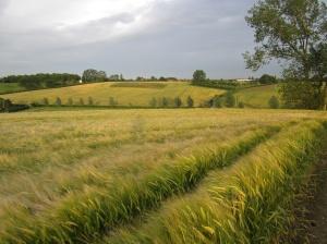 Beautiful summer evening view of corn fields