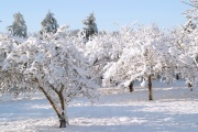 Snowy plum trees 2009