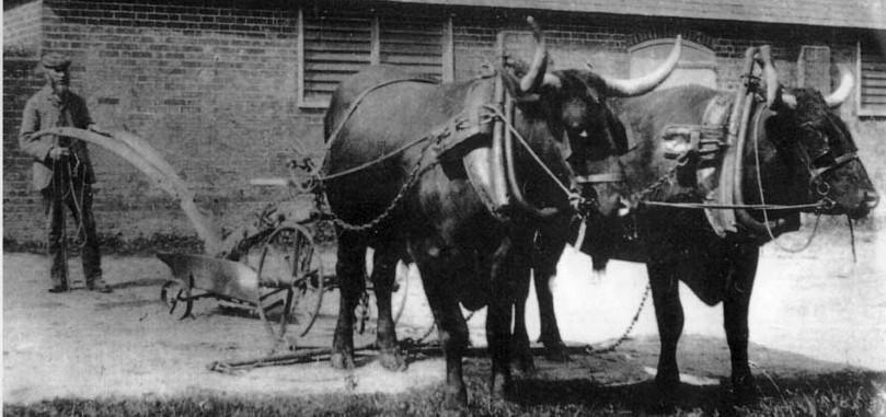 Pair-of-Devon-oxen-Parsonag